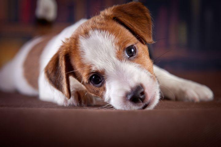 fekvő kutya